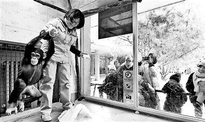 """北京动物园育幼师""""破儿五""""给黑猩猩包饺子"""